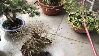 Bonsai acer repotting- part 2