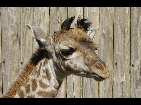 円山動物園 マサイキリンの赤ちゃん公開~Giraffe's Baby