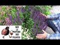 chaine de Jardinage: sauge nemorosa: Comment faire la Taille et entretien: Plante vivace