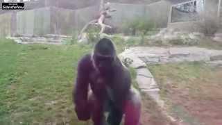 Video [CHOC] Un gorille se fâche... et