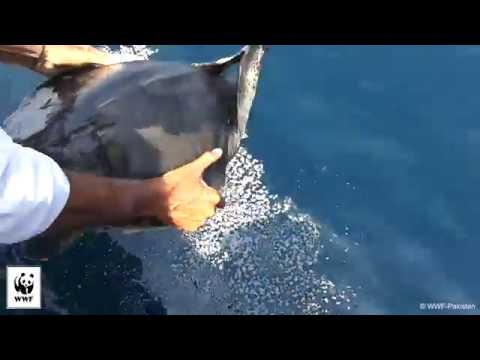 Entangled Olive ridley turtle cut free from debris and released