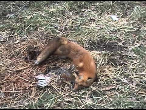 Red Fox Trapping Hayset