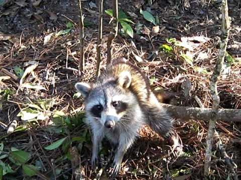 Last Chance Outdoors:Coon Hunting/Trapping Video
