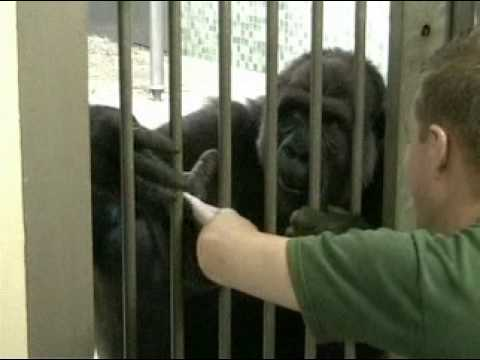 Tickling a Gorilla Video