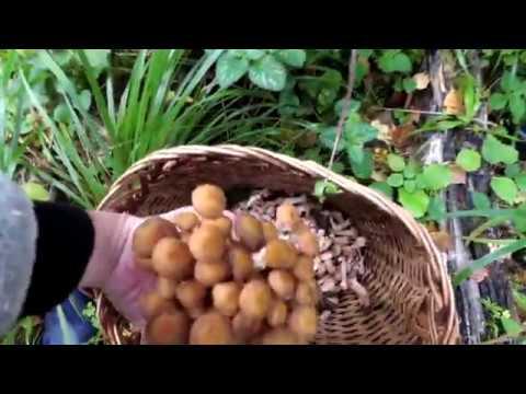 Грибы. Поход в лес за осенними грибами | как мы собирали опята и лисички в лесу в сентябре 2017