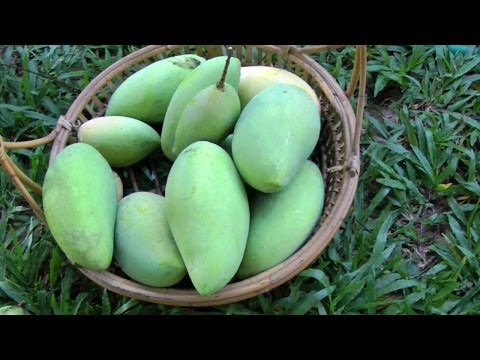 Mango Season is Here! - The King of Fruits | Mangifera Indica | HD Video