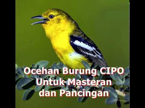 Suara Kicau Burung CIPO Gacor Untuk MASTERAN