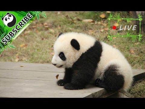 24/7 HD Live: Pandas in Kindergarten
