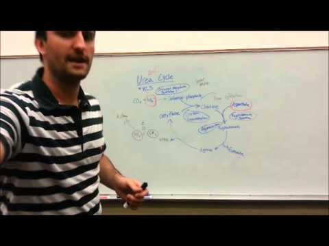 Urea Cycle Made Simple