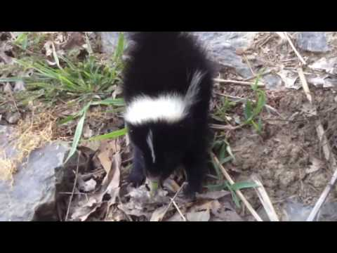 Baby skunk cute until...