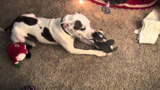 Jameson the Vicious Pitbull does christmas