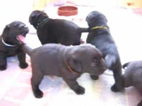 Labrador Puppies 20 Days Old Labrador Puppies 25 Days Old