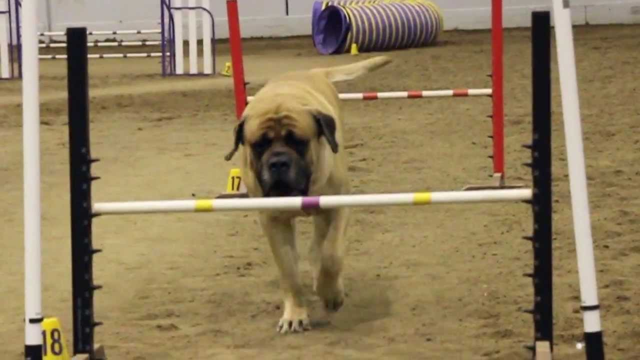 Giant Mastiff Shows Agility Isn't Just For Little Dogs