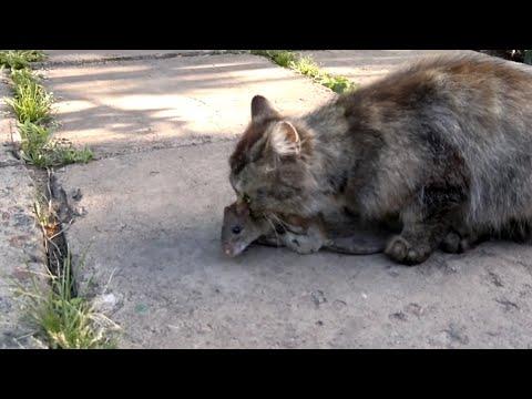 Видео коты против крыс
