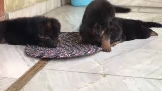 Kuber kennel gsd puppies are for sale