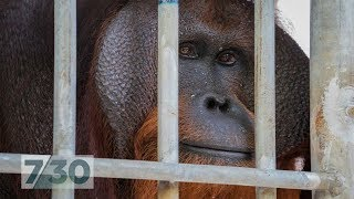 For six years this orangutan was locked in a tiny cage, now he's nearly free | 7.30