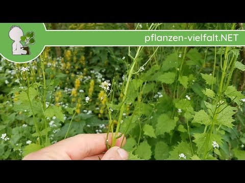 Knoblauchsrauke - unreife Früchte - 01.05.18 (Alliaria petiolata) - essbare Wildpflanzen bestimmen