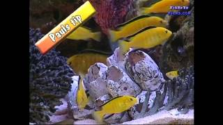 CICHLID colour grouping