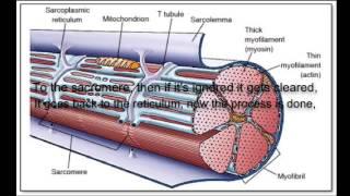Starships Muscular System