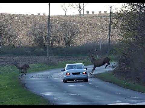 Szarvas vonulás. Deers crossing a road in Hungary