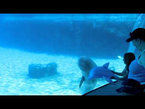 Baby Beluga Whale playing with Blowup Dalphin