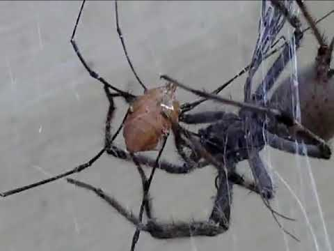Wolf Spider vs. Daddy Long legs (Harvestmen)