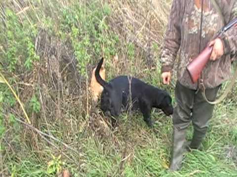 охота на фазана c ретривером в краснодарском крае 2008