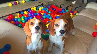 DIY Living Room Ball Pit : Cute Dogs Louie & Marie