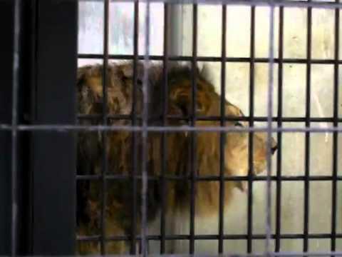 京都市動物園 ライオン