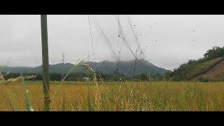 LÙA đàn chim bằng lưới bẫy chim - lưới bẫy chim RI, chim KHUYÊN, chim SÂU
