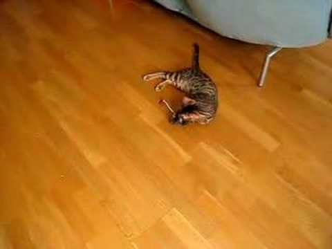 Bengal cat and stuck mouse