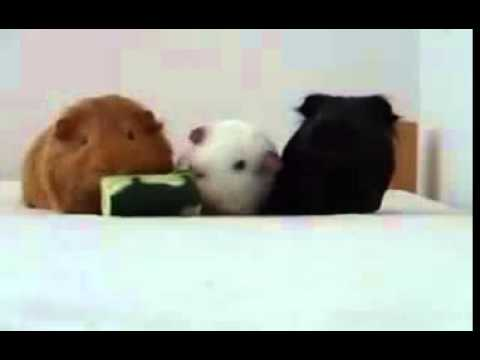 Three Guinea Pigs Fighting For A Cucumber