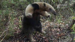 Más osos hormigueros en áreas protegidas