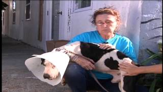 Pit-bull burned with tail cut off said to have
