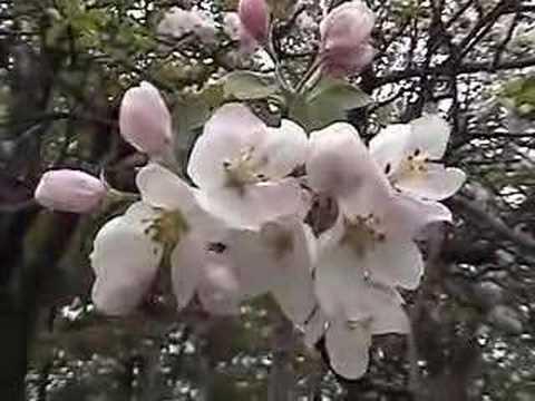 UMass Fruit Advisor: USA's oldest McIntosh apple tree