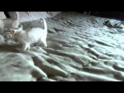 gatinhos angorá