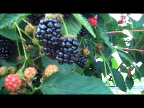 Выращивание ежевики на украине 93
