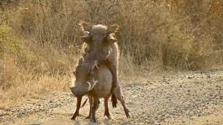 Warthogs mating