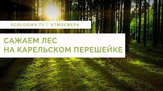 Сажаем лес на Карельском перешейке.