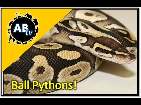Ball Pythons! The Python Hunter : AnimalBytesTV