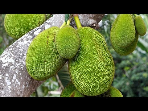 Miracle Fruit? 10 Amazing Health Benefits of Jackfruit