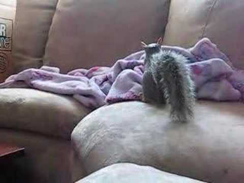 Nutz My Pet Squirrel thinks he is one of the cats