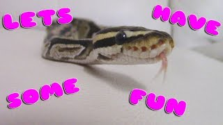 FUN THINGS TO DO WITH YOUR BALL PYTHON!