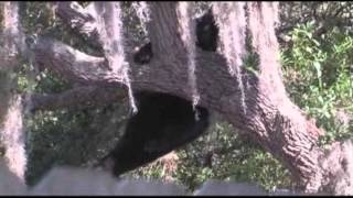 Raw: Bear Falls From Tampa Tree