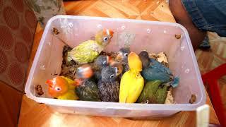 Cara memberi pakan anakan lovebird || LOVEBIRD farm