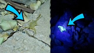 SCORPION HUNTING AT NIGHT! *GLOW IN THE DARK*