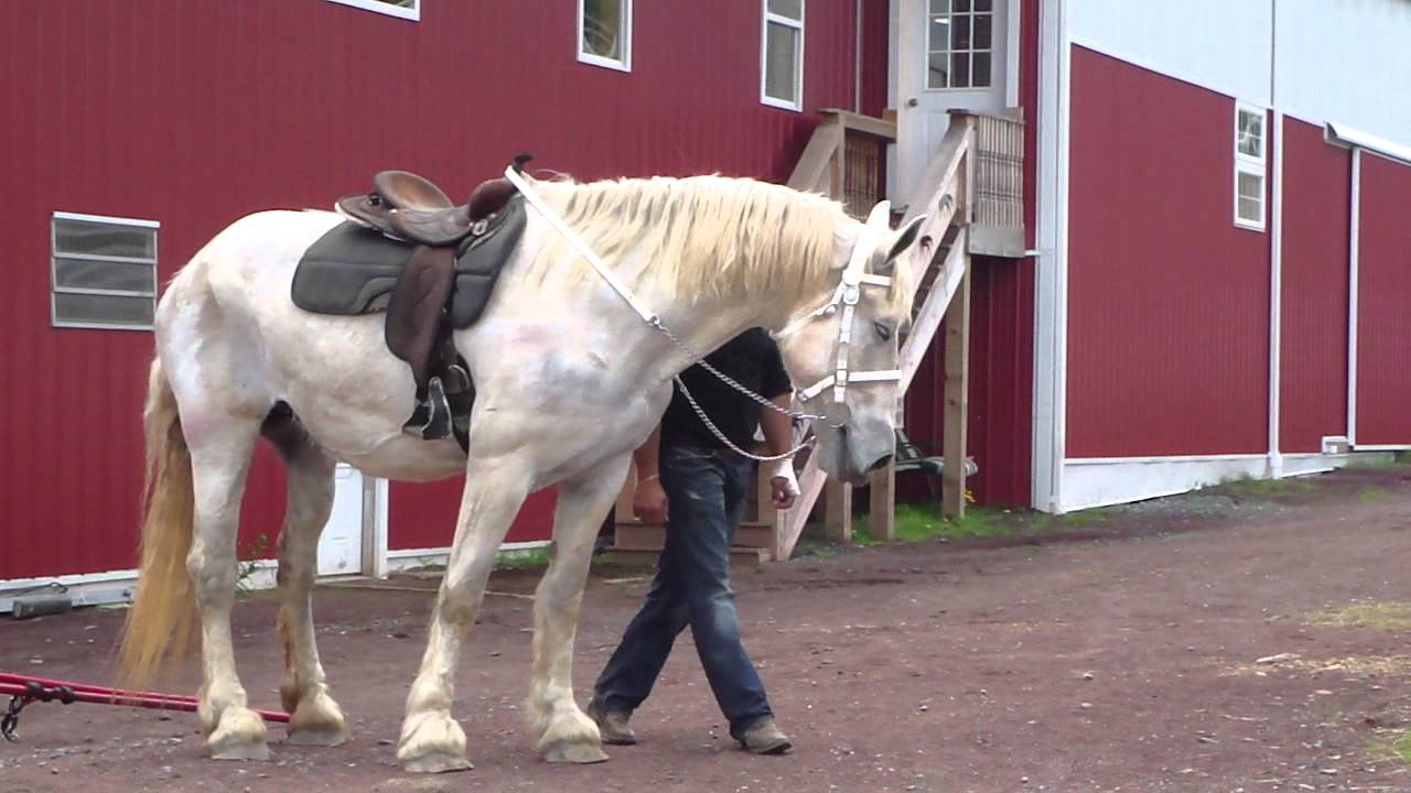 White percheron pictures