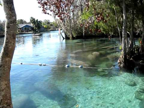Manatees @ Three Sisters Spring, Crystal River FL