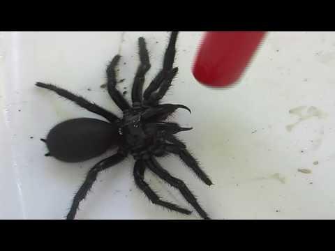 Female Funnel Web Spider.mov
