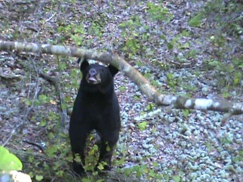 Black Bear Too Close  Bluffing